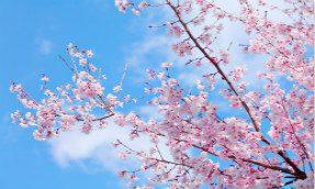 【京町家 乐游】京都赏樱茶宴  欢迎参加!