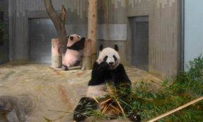 上野动物园熊猫宝宝「香香」初亮相,上野地区商场餐厅推出纪念周边商品、伴手礼、限定餐点