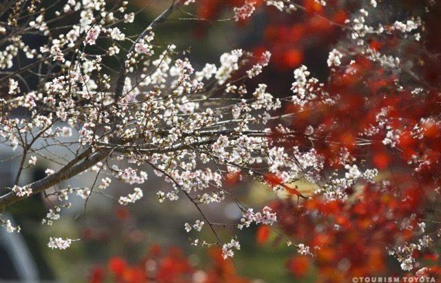 【爱知|丰田】小原地区秋季一日游,欣赏日本唯一红叶樱花同框绝景